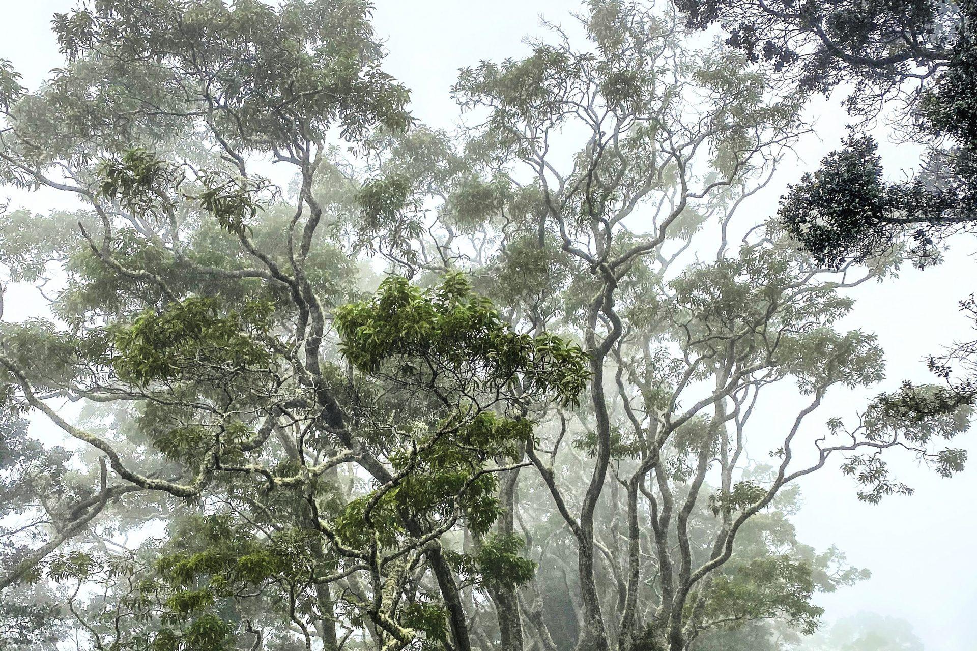夏威夷的傳奇樹:Koa